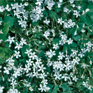 Oxalis latifolia &#8216;Alba&#8217;